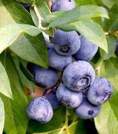 Áfonya magas flavonoid tartalmú gyümölcs